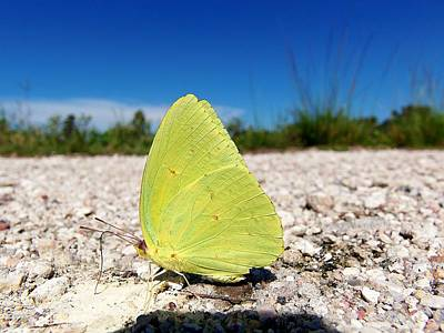 Art Print featuring the photograph Sulphur Yellow Butterfly by Chris Mercer