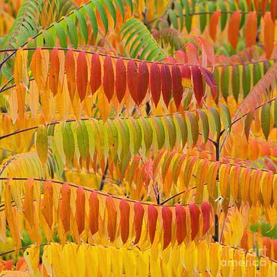 Photograph - Sumac Autumn - D008235 by Daniel Dempster