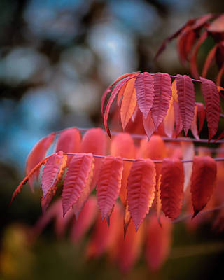 Rhus Photograph - Sumac Glow by James Barber