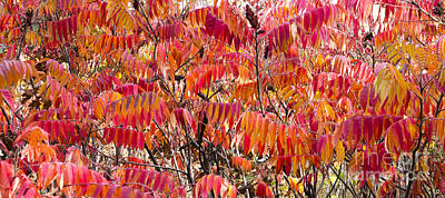 Fall Photograph - Sumac by Steven Ralser