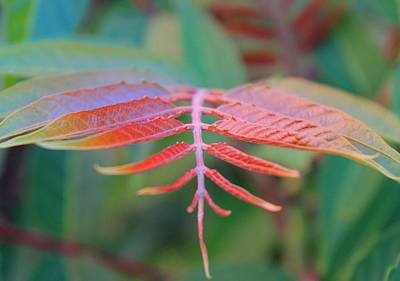 Photograph - Sumac by Trent Mallett