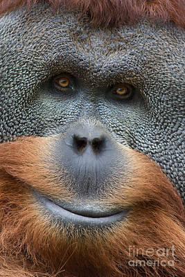 Orangutan Digital Art - Sumatra Orangutan by Jerry Fornarotto
