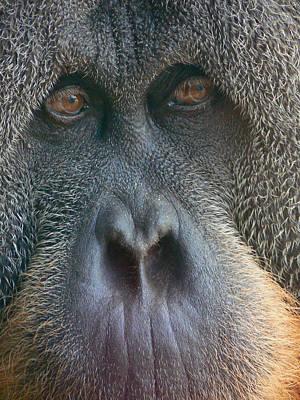 Photograph - Sumatran Orangutan by Margaret Saheed