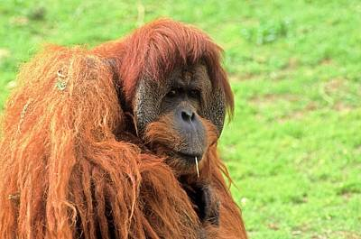 Orang-utan Photograph - Sumatran Orangutan (pongo Abelii) by Photostock-israel