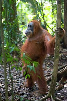 Forest Floor Photograph - Sumatran Orangutan by Scubazoo