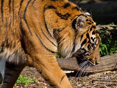 Photograph - Sumatran Tiger 7d9092 by Wingsdomain Art and Photography
