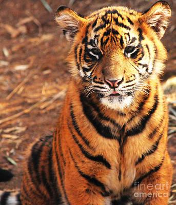 Sumatran Tiger Cub Art Print