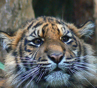 Photograph - Sumatran Tiger Cub On Alert by Margaret Saheed