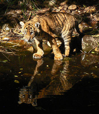 Photograph - Sumatran Tiger Cub Reflection by Margaret Saheed