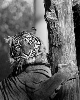 Art Print featuring the photograph Sumatran Tiger by Gary Neiss