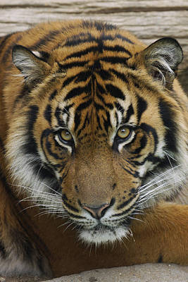 Photograph - Sumatran Tiger by Hiroya Minakuchi