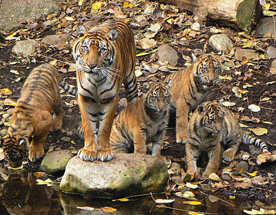 Photograph - Sumatran Tiger Mother And Her Four Cubs by Margaret Saheed
