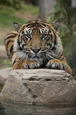 Felidae Photograph - Sumatran Tiger by San Diego Zoo