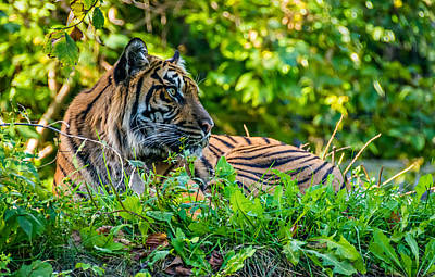 Cat Photograph - Sumatran Tiger by Steve Harrington