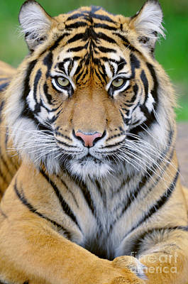Photograph - Sumatran Tiger by Thomas and Pat Leeson