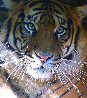 Photograph - Sumatran Tiger Whiskers by Margaret Saheed