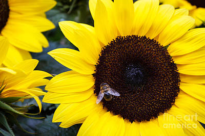 Photograph - Summer Bee In Sunflower by Peta Thames