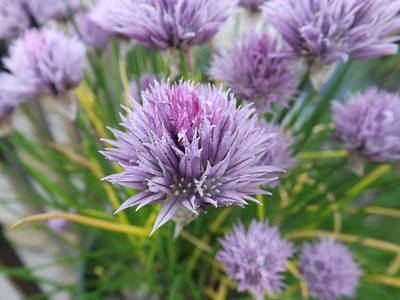 Photograph - Summer Chives by Michelle Hoffmann