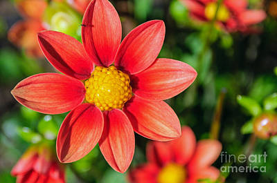 Photograph - Summer Dahlia by Tikvah's Hope
