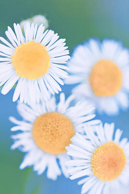 Summer Daisies Art Print