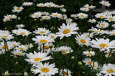 Photograph - Summer Daisies by Susan Herber