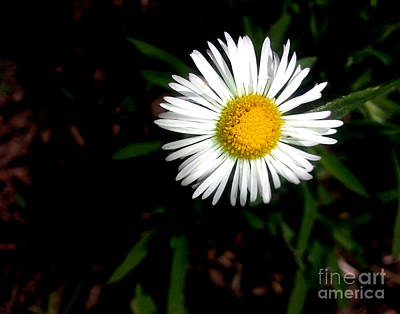 Photograph - Summer Daisy by Arizona  Lowe