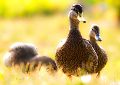 Mallard Wall Art - Photograph - Summer Ducks by Bob Orsillo