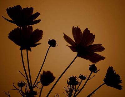 Photograph - Summer Evening Cosmos  by Kathy Sampson