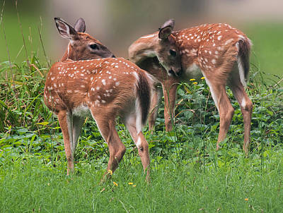 Twin Tailed Photograph - Summer Fawns by Lara Ellis