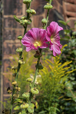 Photograph - Summer Hollyhocks by Ian Mitchell