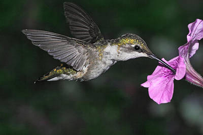 Photograph - Summer Hummer by Theo OConnor