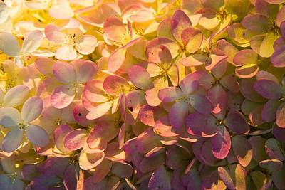 Photograph - Summer Hydrangea by Robert Clifford
