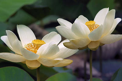 Photograph - Summer Lotus Flowers by Mary Almond