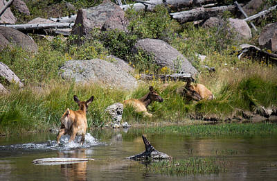 Summer Morning Dip - Elk In Yellowstone National Park - Wyoming Original by Diane Mintle