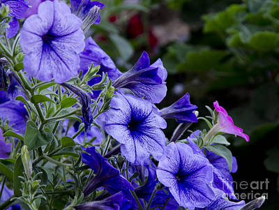 Photograph - Summer Petunias by Wilma  Birdwell
