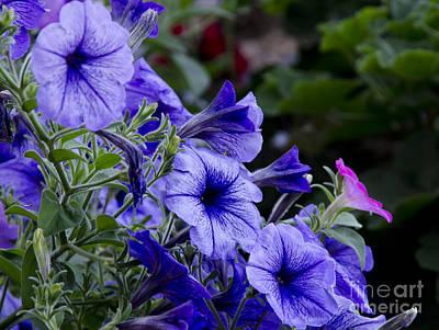 Photograph - Summer Petunias by Wilma  Birdwell