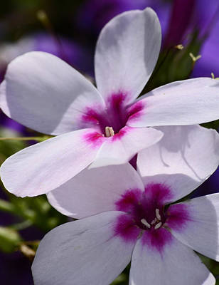 Photograph - Summer Phlox by Lori Tambakis