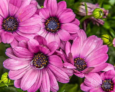 Summer Pink 3 Art Print by Susan Cole Kelly Impressions