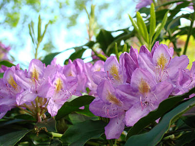 Summer Rhodies Flowers Purple Floral Art Prints Art Print