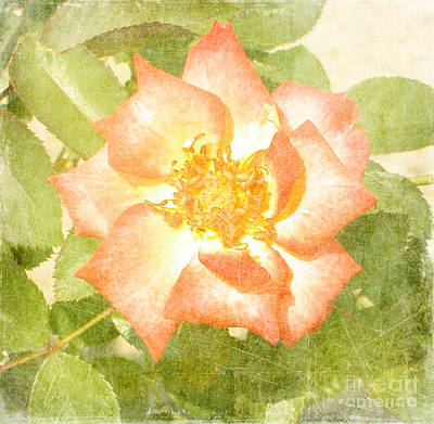 Gardens Painting - Summer Rose by Alys Caviness-Gober