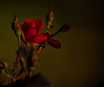 Summer Rose Art Print by Mark Alder