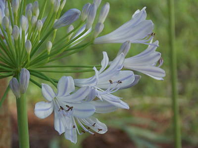 Summer Skies - African Lily Art Print by Annette Allman