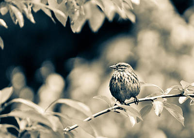 Photograph - Summer Sparrow by Ronda Broatch