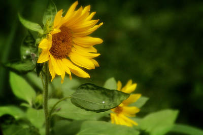 Photograph - Summer Sunflower 2 by Scott Hovind