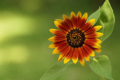 Photograph - Summer Sunflower 3 by Scott Hovind