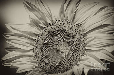 Photograph - Summer Sunflower by Wilma  Birdwell