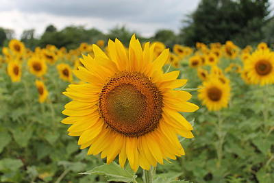 Andrea Grist Wall Art - Photograph - Summer Sunflowers by Andrea K Grist