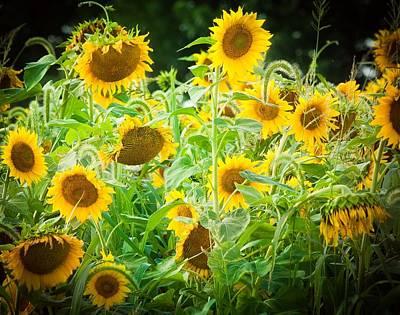 Summer Sunflowers Art Print