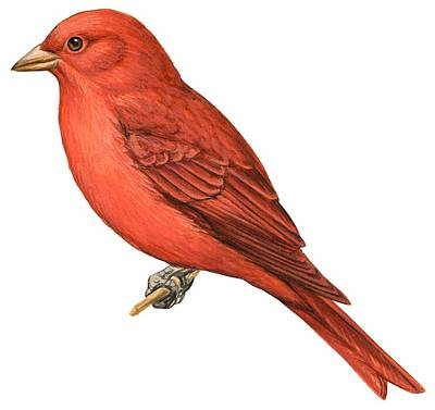 Zoology Painting - Summer Tanager  by Anonymous