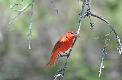 Photograph - Summer Tanager by Frank Madia